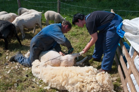 Lage Zwaluwe, North-Brabant, Netherlands, May 22, 2011,  A farmer is shearing one of his sheeps and his wife assists him