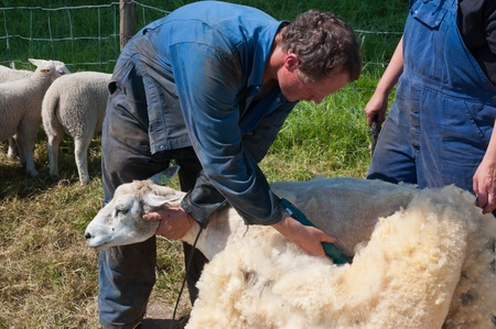 Lage Zwaluwe, North-Brabant, Netherlands, May 22, 2011,  A farmer is shearing one of his sheep