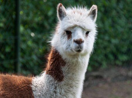 llama: Ritratto di marrone e di bianco Llama Archivio Fotografico