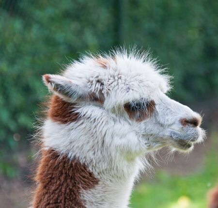 Portrait of brown and white Llama photo