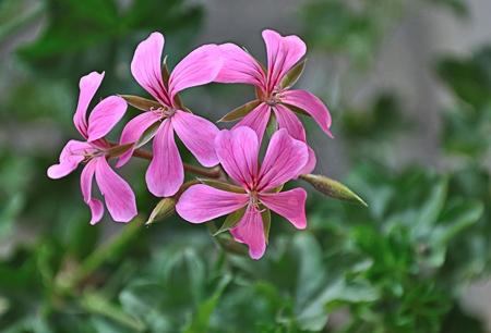 Nahaufnahme einer Fuchsia farbiger Blüte hängend Pelargonium (Pelargonium Fußblatt) Lizenzfreie Bilder