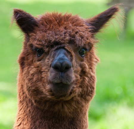 Portrait of a brown Llama against a blurred background photo