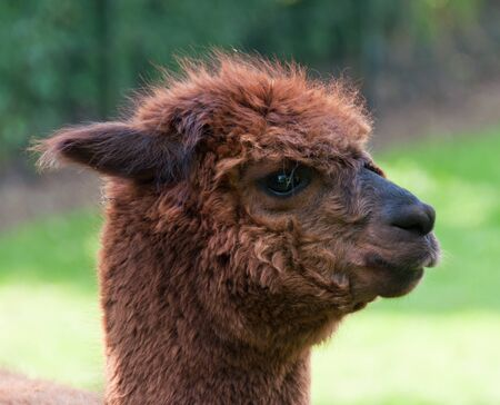 Portrait of a brown Llama against a blurred background Stock Photo - 9640989