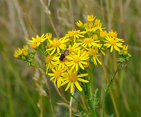 nectaring: Narrow-leaved Ragwort with bee against a blurred background Stock Photo