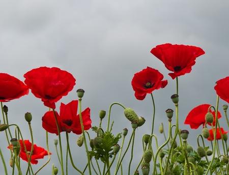 Papaveri rossi fioritura contro un pesante cielo nuvoloso grigio Archivio Fotografico - 10087683