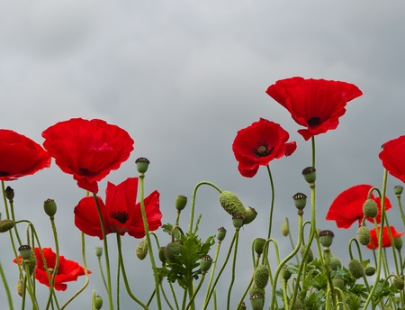 Red flowering poppies against a heavy cloudy gray sky