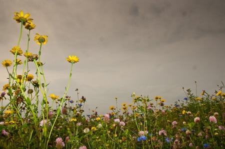 margine: Un margine di campo olandese di fiori selvatici contro un cielo nuvoloso Archivio Fotografico