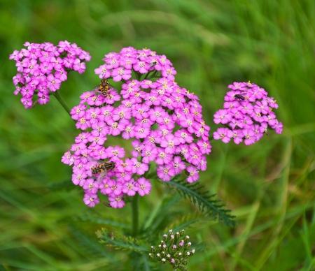 Roze bloei Gemeenschappelijke Yarrow en zweefvliegen met een wazig groene achtergrond