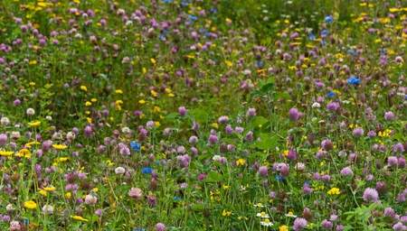 dutch clover: A butterfly-friendly field of wildflowers with lots of red clover