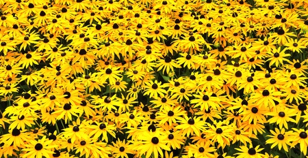 A sunny field with Black-eyed Susans Stock Photo