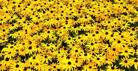 Un campo soleggiato con Black-Eyed Susans Archivio Fotografico - 10236416