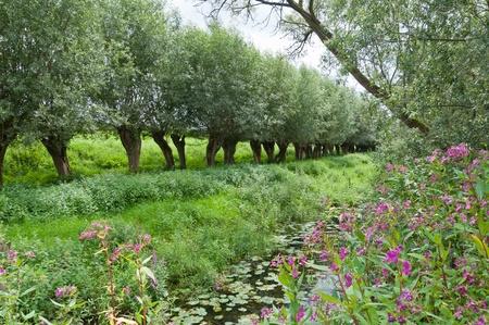 Nederlandse Nationaal Park De Biesbosch, op de voorgrond roze bloeiende reuzenbalsemien Stockfoto
