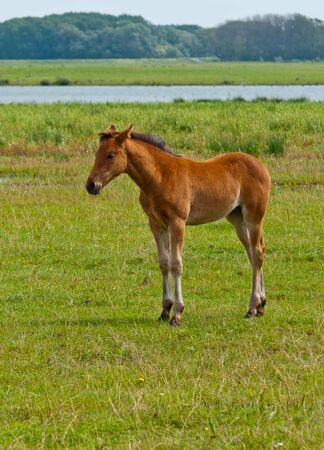 Young foal standing in grassland with a small Dutch river in the background photo