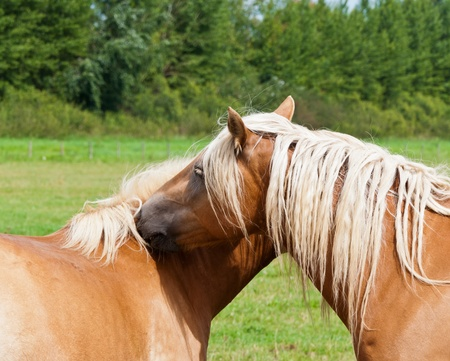 Hugging brown horses with blonde mane and a natural green background photo