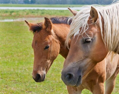 horse blonde: Double portrait of a mare and her foal standing in the meadow Stock Photo