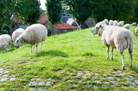 drimmelen: Sheep on the dike near a small Dutch village