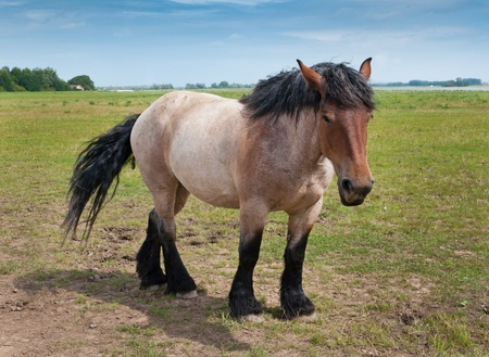 belgian horse: A powerful Belgian horse standing in a Dutch landscape Stock Photo