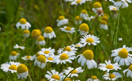 Close-up of flowering German chamomile at a blurred background
