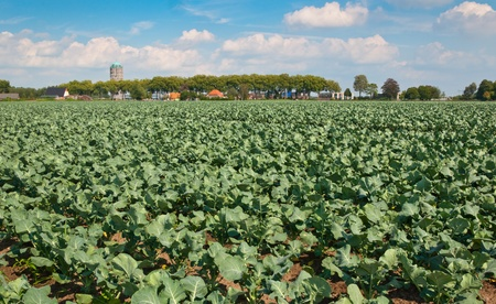 A field of growing green cabbages and a small Dutch village in the background Stock Photo - 10345994