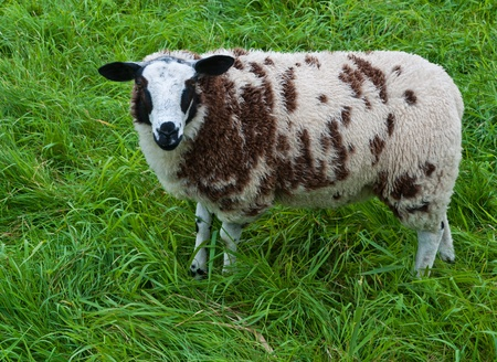One spotted brown and white sheep in Dutch grassland photo