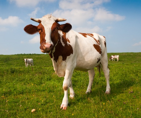 closeup cow face: Close-up of a red en white spotted cow in a Dutch landscape with other cows in the background Stock Photo