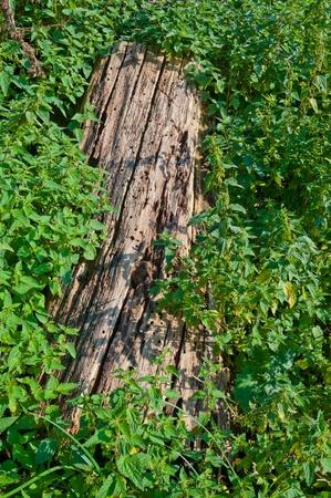 Closeup of a rotten tree stump among the nettles Stock Photo - 10394380
