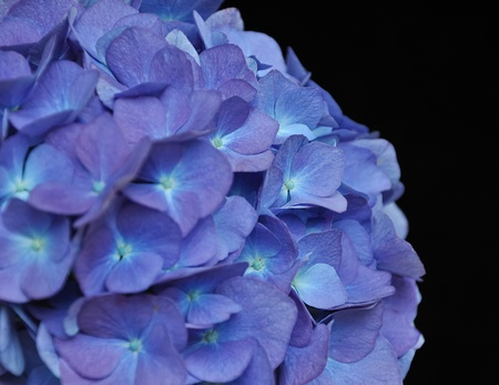 Closeup of a blue flowering hydrangea against a black background