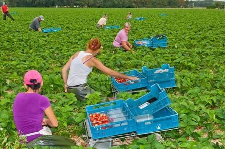 Ernte Erdbeeren auf einem Feld nahe der niederländischen Dorf Wouw, Noord-Brabant. Polnische Gastarbeiter pflückt Erdbeeren in einem Gartenbau Unternehmen in den Niederlanden am 15. September 2011