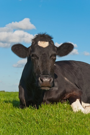 A black spotted ruminating cow lying in a Dutch meadow photo