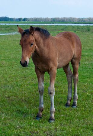 Foal with long legs is standing in grass near the river photo