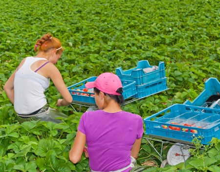 Polish seasonal workers picking strawberries in a field of a Dutch horticultural company