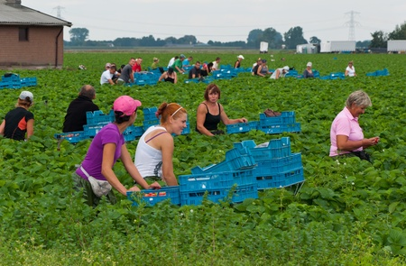 Polnische Saisonarbeiter pflücken Erdbeeren in einem Feld von einem niederländischen Gartenbau-Gesellschaft