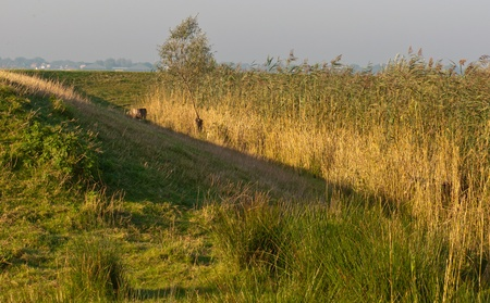 Golden reed along a Dutch dike glowing in the early morning light photo