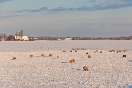 Wintery fields with snow and sheep in the Netherlands photo