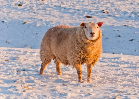 Standing in the snow this sheep basks in the warm afternoon sun Stock Photo - 10893844