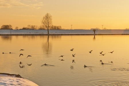 Flying and swimming water birds in low sunlight photo