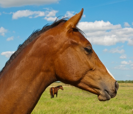 Two brown horses in a Dutch meadow Stock Photo - 10893897