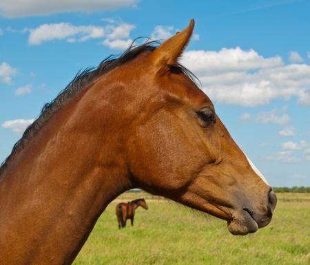 Zwei braune Pferde in einem holländischen Wiese Lizenzfreie Bilder