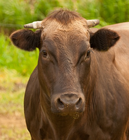 Portrait of a dark brown cow against a blurred natural background in the Netherlands Stock Photo - 10893863