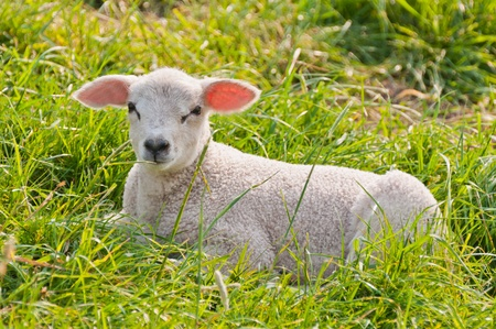 Portrait of a lamb lying in a meadow somewhere in the Netherlands Stock Photo - 10893898