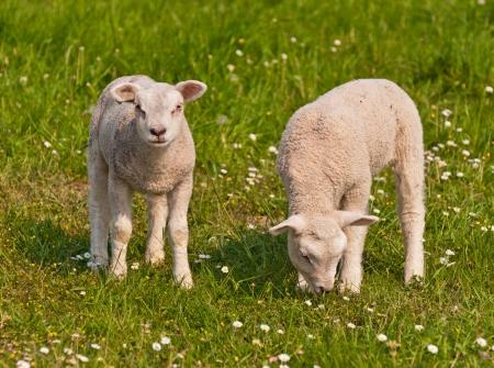 Ein Lamm ist Beweidung während der andere neugierig schaut sich um.