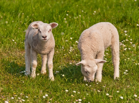 spring lambs: One lamb is grazing while the other is curiously looking around.