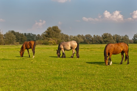 Horses grazing in grassland of National Park De Biesbosch in the Netherlands photo