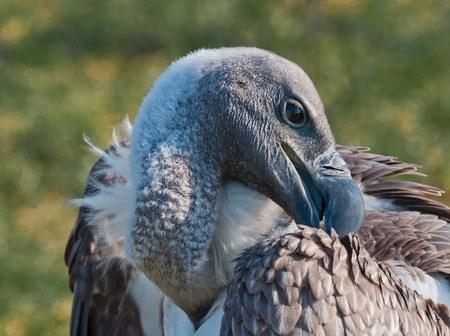 Closeup of an adult Rüppell Vulture arranging its feathers Stock Photo - 10893895