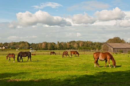 Peaceful grazing horses on a sunny Dutch meadow on the outskirts of a village Stockfoto