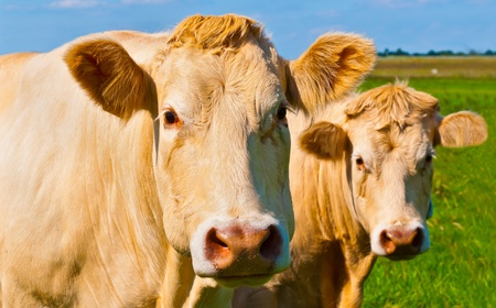 Portrait of two light brown cows posing in a sunny meadow in the Netherlands photo