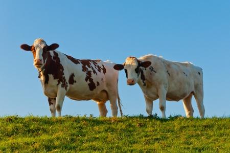 Due mucche su una diga nei Paesi Bassi Archivio Fotografico - 10977536