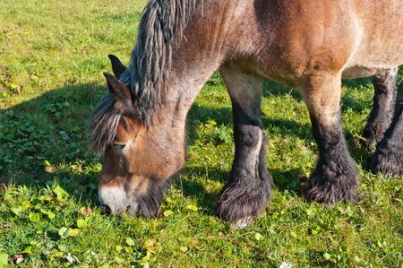 belgian horse: Portrait of an eating brown Belgian horse in a sunny Dutch meadow Stock Photo