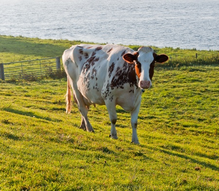 Red spotted white cow in grassland with a fence along a Dutch river. photo