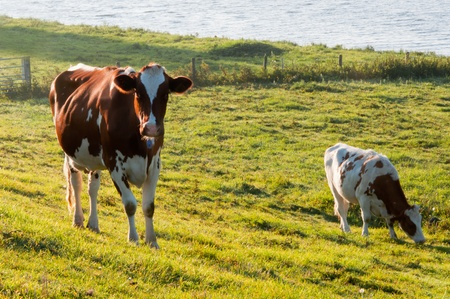 Red spotted white cows in grassland with a fence along a Dutch river. photo